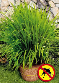 natural lemon grass repels mosquitoes