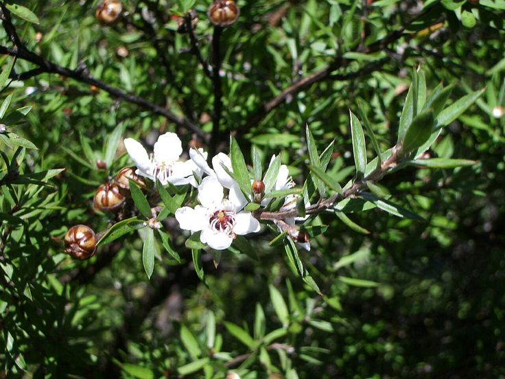 anti-microbial,Tea Tree Oil Used for its antiseptic, antiviral, anti-microbial, and fungicidal properties kill mold and mildew and Medicinal scent.