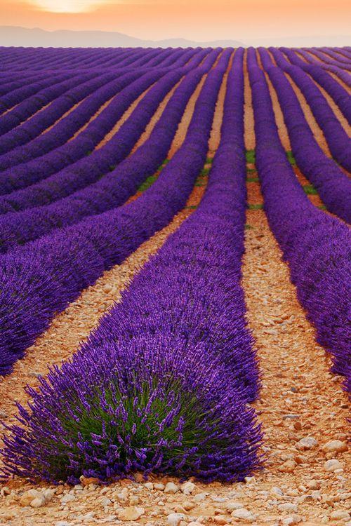 Lavender sent